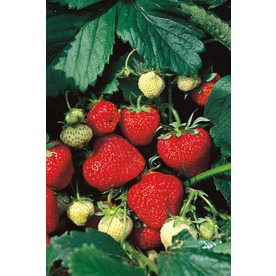  10-Count Sequoia Strawberry (L10465)