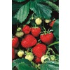 10-Count Sequoia Strawberry Small Fruit (L10465)