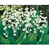 8-Count Lily of the Valley (L8114)