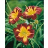 2-Count Night Beacon Daylily (L15712)