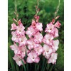 My Love Gladiolus Bulbs