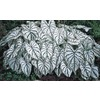 10-Count White Christmas Caladium (L15255)