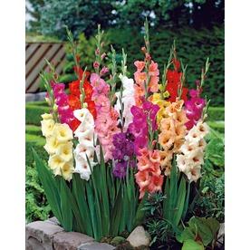 50 Pack Mixed Gladiolus Bulbs
