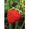 10-Count Ozark Beauty Everbearing Strawberry Small Fruit (L20784)