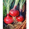 80-Pack Red Onion Plant (L20410)