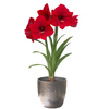  5-in Amaryllis Red Lion with Silver Pot