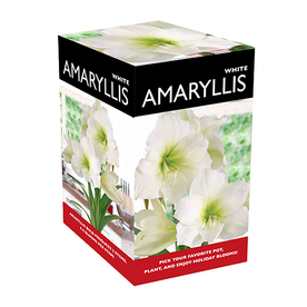 1-Count Amaryllis Bulbs
