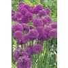 Purple Sensation Allium Bulb