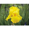 Gold Galore Bearded Iris (L15946)