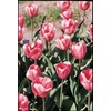  Pink Impression Tulip Bulb