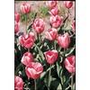 Pink Impression Tulip Bulbs