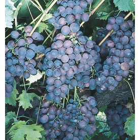 Black Monukka Seedless Grape Small Fruit (LW00687)