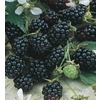 Apache Thornless Blackberry Small Fruit (L14292)