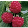 Heritage Everbearing Raspberry Small Fruit (LW00208)