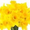 12-Pack Daffodil Yellow Bulbs