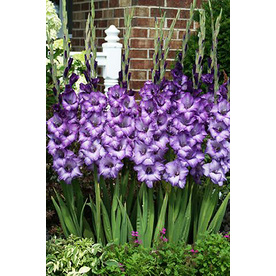 12-Count Gladiolus Bulbs