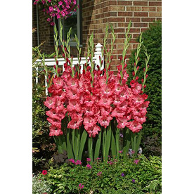 Shop 12-Pack Pink Gladiolus Bulbs at Lowes.