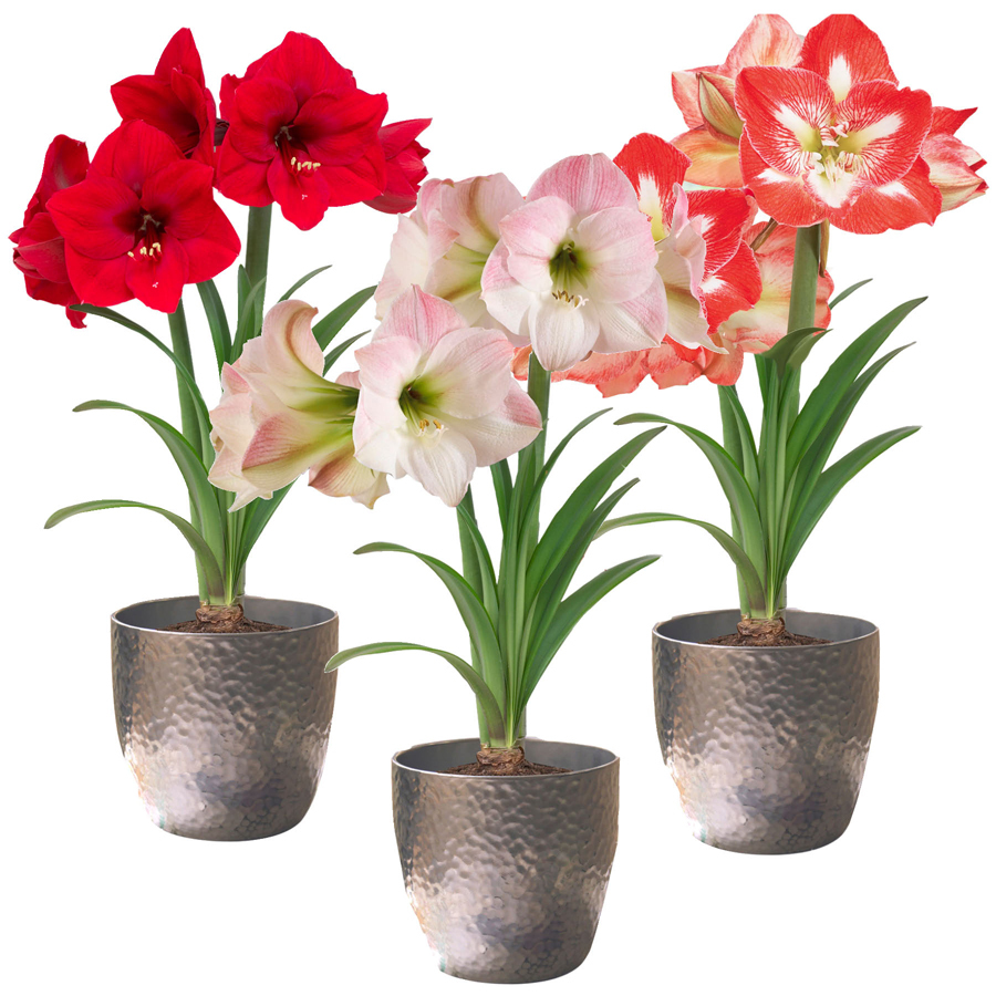 Shop amaryllis bulb at for Pot amaryllis