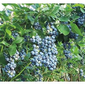 2.25-Gallon Blue Suede Southern Highbush Blueberry (L23286)