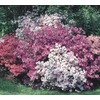Garden Club Select 3 Gallon Azalea (L5159)
