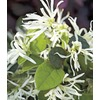 Garden Club Select 3-Gallon White Emerald Snow Loropetalum (L23336)