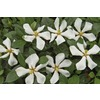 Garden Club Select Gallon White Pinwheel Gardenia (L23287)