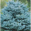 9.6-Gallon Colorado Blue Spruce Globe (L14441)