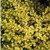 2.62-Gallon Drops of Gold Holly (L24811)
