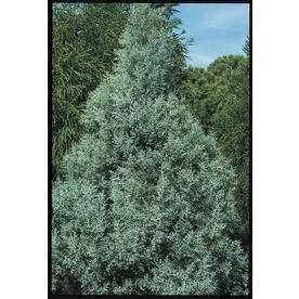 2.5-Quart Carolina Sapphire Cypress (L7632)