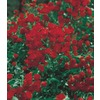  3.25-Gallon Red Lady Bank's Rose (LW03784)