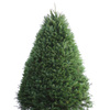 7-8-ft Fresh Douglas Fir Christmas Tree