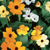 Burpee Alata Mix Thunbergia Seed Packet