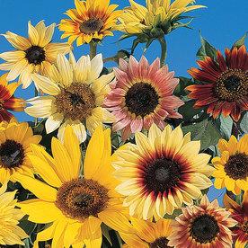 Burpee Fantasia Hybrid Mix Sunflower Seed Packet