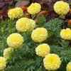 Burpee Primrose Lady Hybrid Marigold Seed Packet