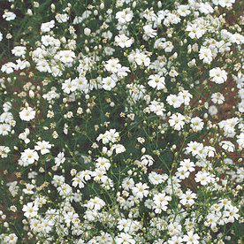 Burpee Convent Garden White Baby's Breath Seed Packet