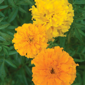 Burpee Sunset Giants Mix Marigold Seed Packet
