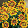 Burpee Daybreak Red Stripe Gazania Seed Packet