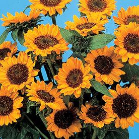 Burpee Tangina Sunflower Seed Packet