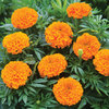 Burpee Taishan Orange Hybrid Marigold Seed Packet