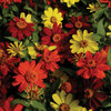 Burpee Bonfire Mix Zinnia Seed Packet
