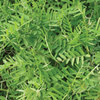 Burpee Hairy Vetch Seed Packet