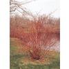 3.75-Gallon White Red Twig Dogwood (L5979)