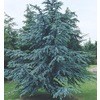 6-Gallon Blue Atlas Cedar (L4673)