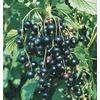 1-Gallon Black Currant Small Fruit (L10503)