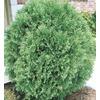 3.63-Gallon Globe Arborvitae (L4610)
