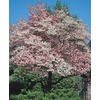 6-Gallon Red Flowering Dogwood (L1022)
