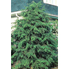  2.25-Gallon Canadian Hemlock (L1242)
