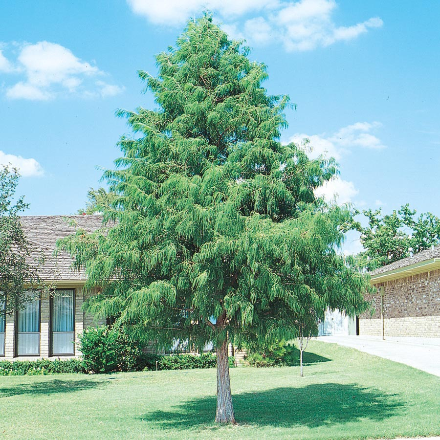 Shop 3.25-Gallon Bald Cypress (L3245) at Lowes.com