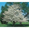  3.25-Gallon White Dogwood (L1053)