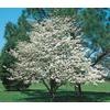 3.25-Gallon White Dogwood (L1053)